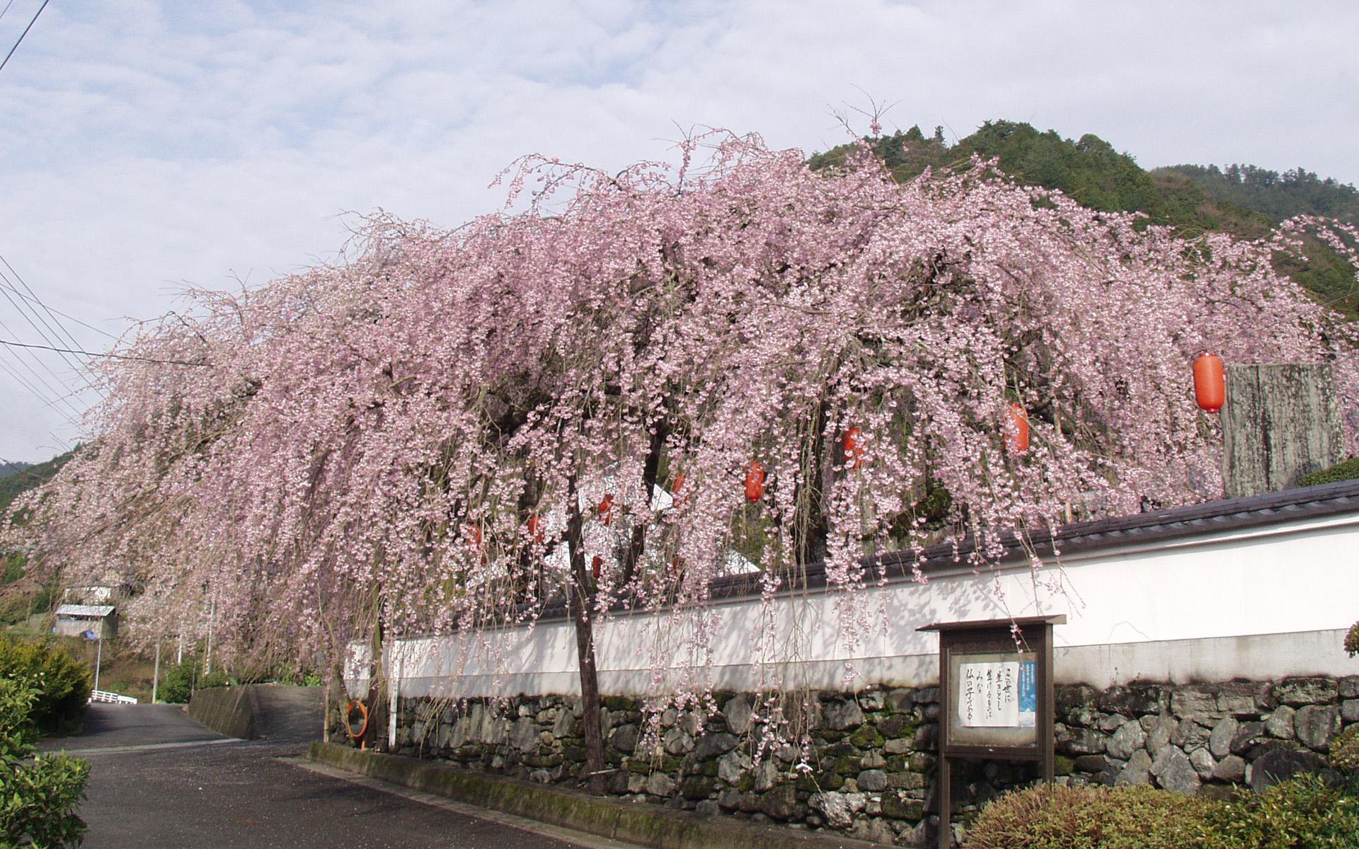 明王寺しだれ桜 3月
