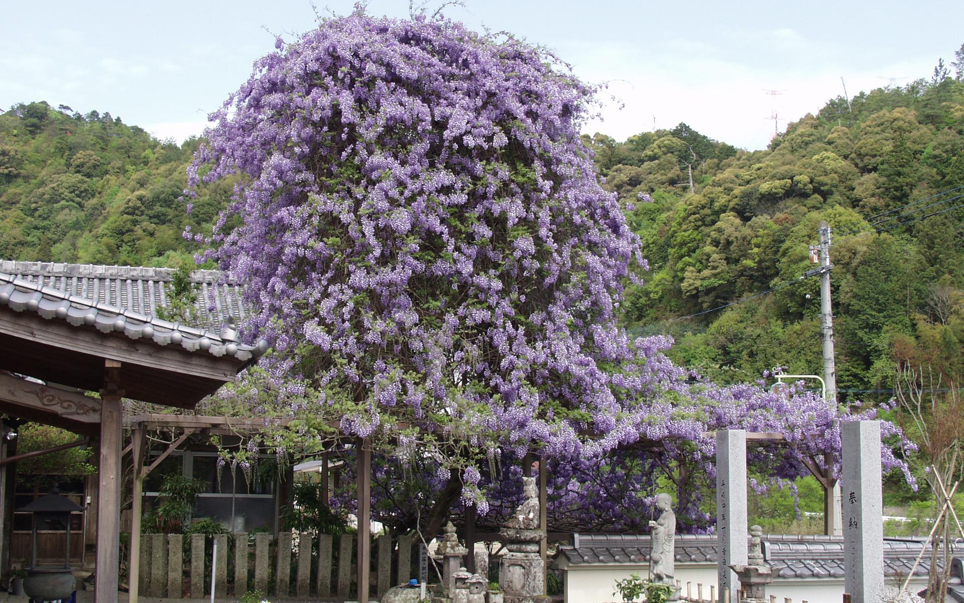 神光寺のぼり藤 5月