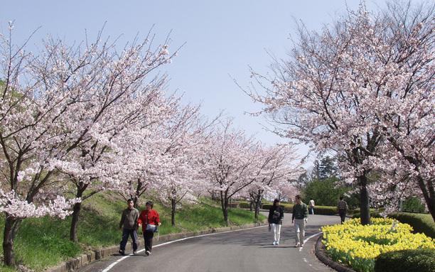 森林公園桜並木 4月