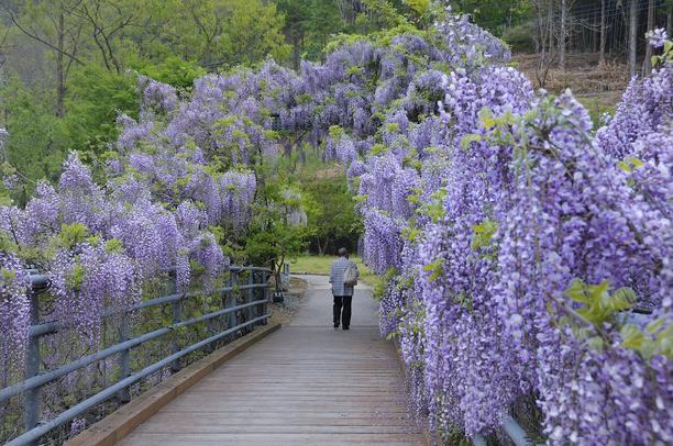 ふれあい橋のふじ 5月