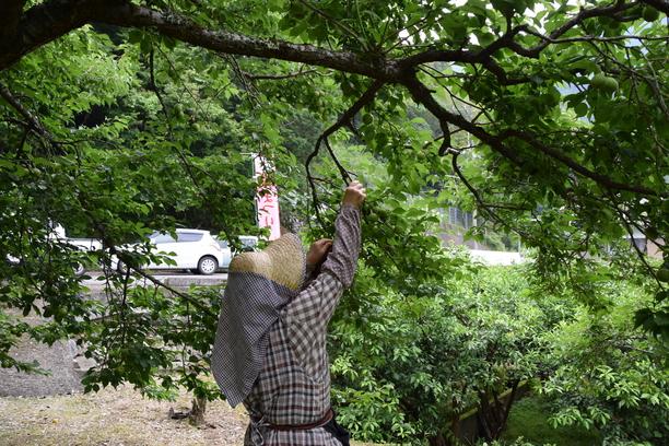 梅の収穫 6月